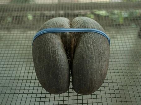 """Aux Seychelles, la découpe du """"coco fesse"""""""