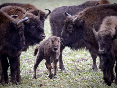 Des bisons divaguant près de Megève vont être abattus