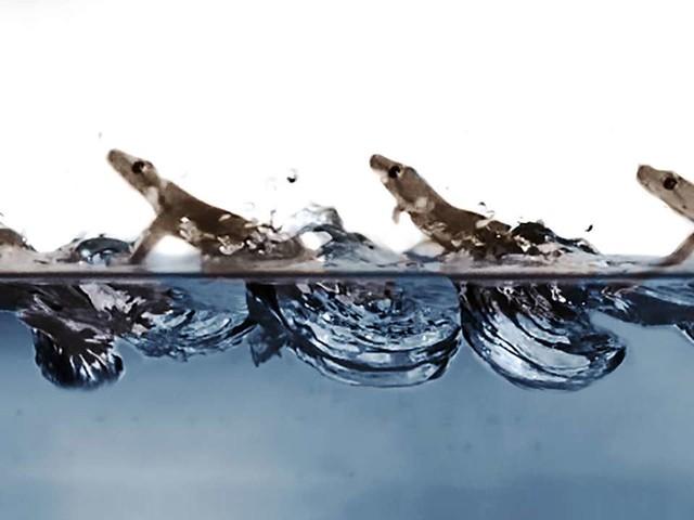 Comment le gecko arrive à courir sur l'eau