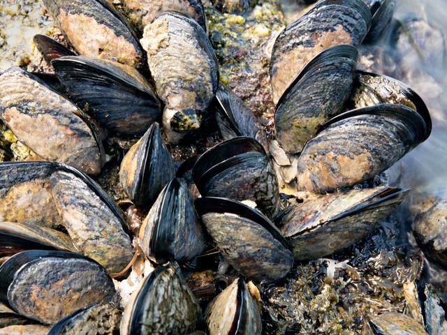 Un demi-million de moules «cuites» à mort par une vague de chaleur en Nouvelle-Zélande
