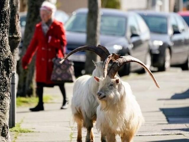 En plein confinement, un troupeau de chèvres envahit une ville galloise