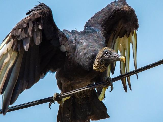 À la frontière mexicaine, des excréments de vautours gênent le travail des douanes