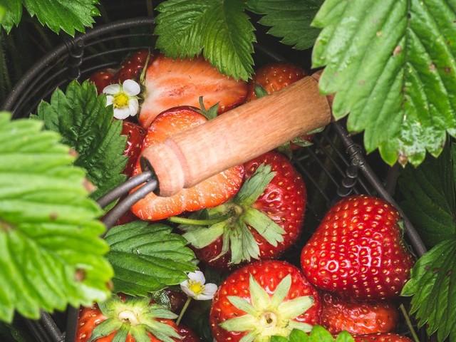 Coronavirus: les récoltes de fraises menacées par le manque de main-d'œuvre