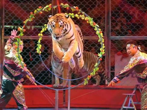 Après la mort d'un tigre échappé dans Paris, la colère monte autour des cirques présentant des animaux sauvages
