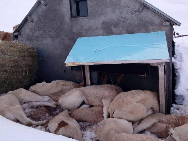 Génisses mortes en estive : « Elles n'ont jamais été abandonnées » clame un éleveur