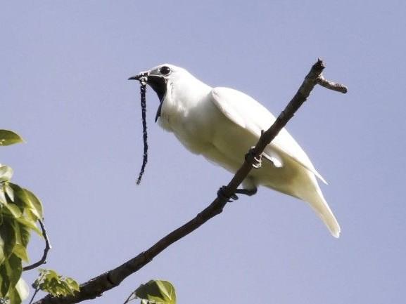 L'oiseau le plus bruyant au monde crie pour pouvoir s'accoupler