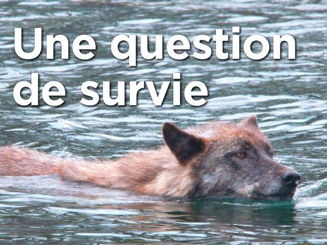 Découvrez une population de loups unique au monde à travers ce documentaire fascinant