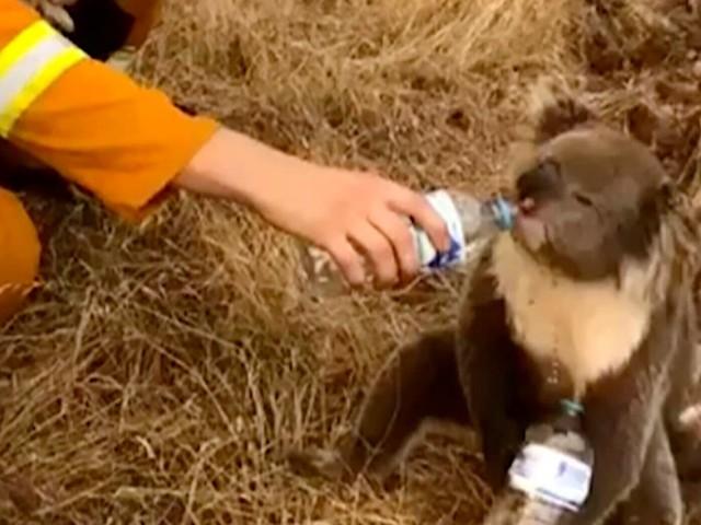 En Australie, un demi-milliard d'animaux sont menacés de mort dans les incendies