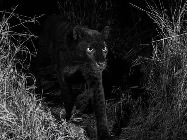Une panthère noire immortalisée au Kenya pour la première fois depuis plus de 100 ans