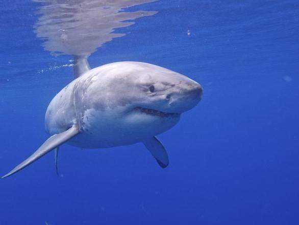 Un affrontement sans merci entre deux grands requins blancs - vidéo
