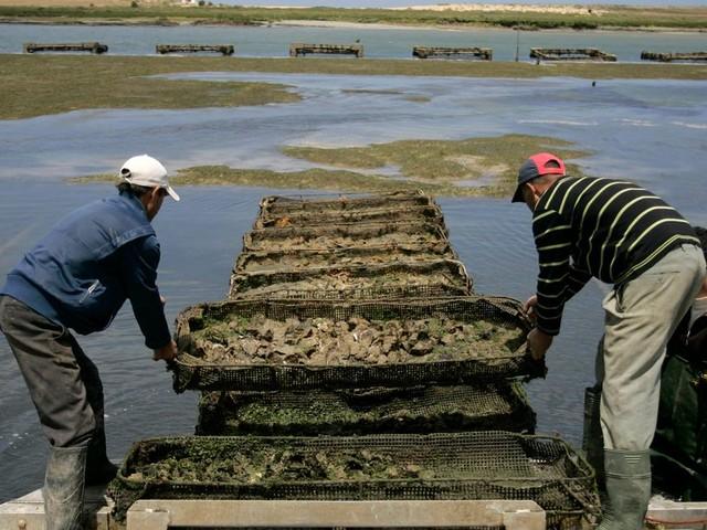 L'huître célébrée à El Jadida, berceau de l'ostréiculture marocaine