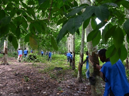 Côte d'Ivoire: face aux critiques, l'hévéaculture tente de se renouveler