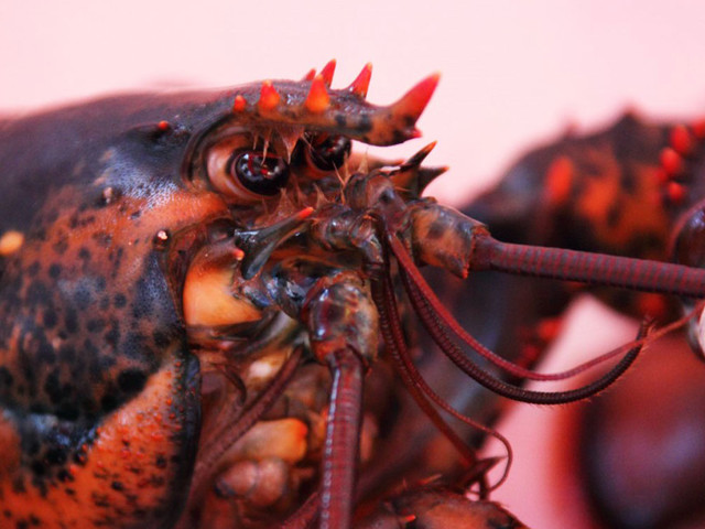 En Suisse, il est désormais interdit de mettre un homard vivant de de l'eau bouillante