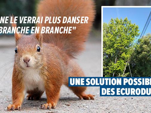 Ecureuils écrasés sur les routes: leur population est-elle en danger dans notre pays?