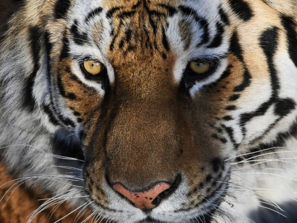 Un tigre escorte une voiture dans les bois en Extrême-Orient russe – vidéo