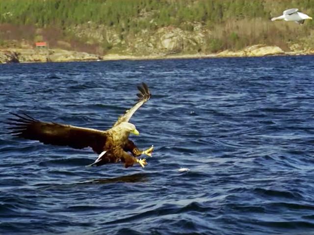 Découvrez le grand aigle des mers, ce rapace majestueux et redoutable