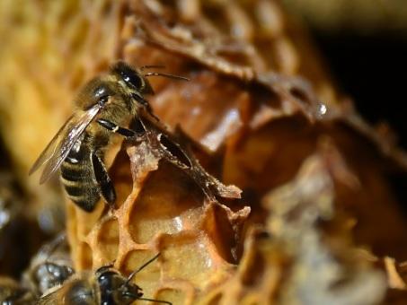 Climat: un été meurtrier pour les abeilles et le miel dans le Sud