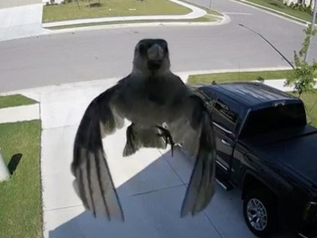Les battements d'ailes de cet oiseau offrent une illusion d'optique parfaite