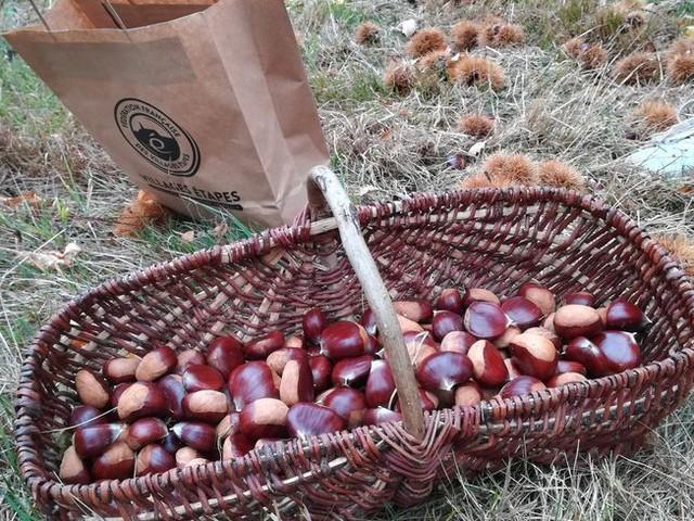 Eguzon : des centaines de kilos de fruits déjà récoltés pour la fête de la châtaigne