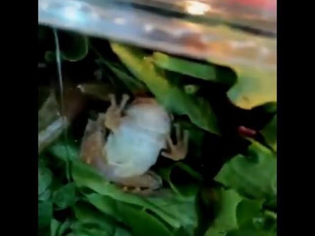 Ils retrouvent une grenouille vivante dans leur salade