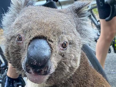 """Un koala déshydraté réclame de l'eau à des cyclistes en Australie: """"Il a même grimpé sur mon vélo"""" (vidéo)"""