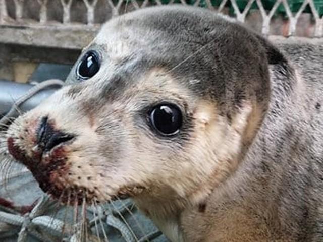 Nord : un bébé phoque violemment battu sur la plage par un pêcheur