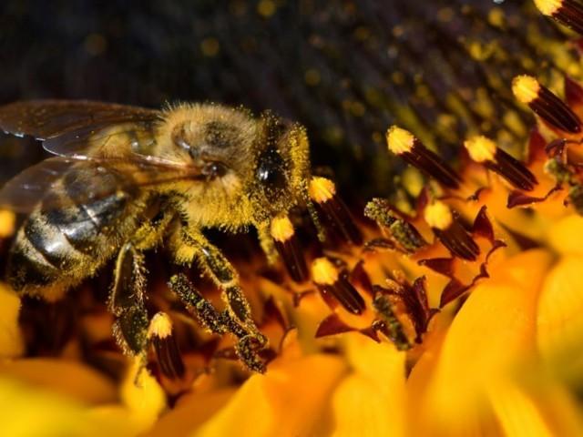 Abeilles: l'interdiction de deux pesticides ne sera pas contestée