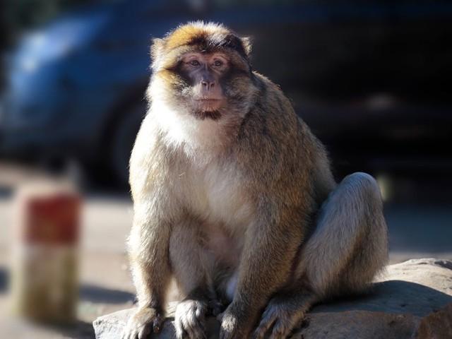 À Ifrane, un atelier de formation sur la protection du singe magot