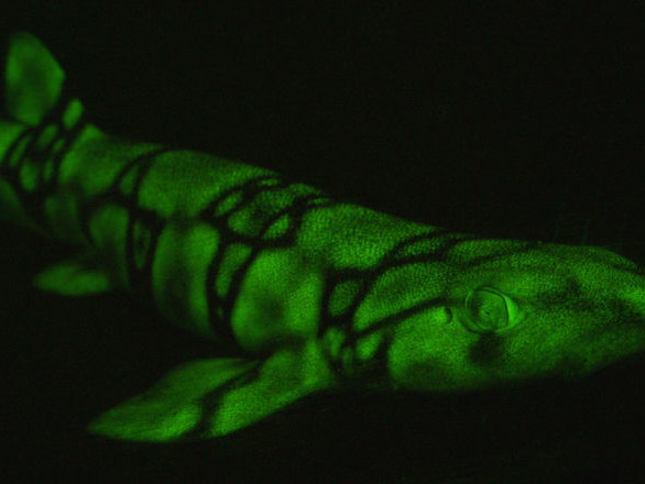Le secret des requins fluorescents percé par des chercheurs - photo