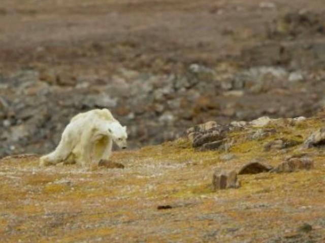 Les images déchirantes d'un ours polaire mourant de faim à cause du réchauffement climatique