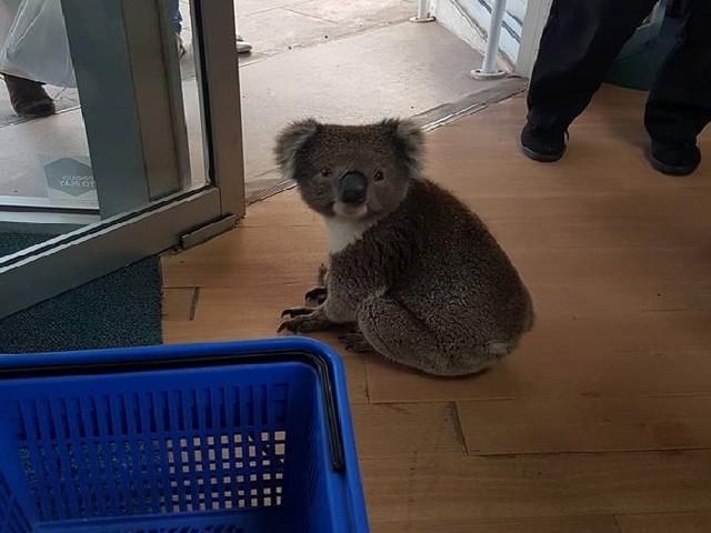 VIDÉO - Un koala entre dans une pharmacie australienne