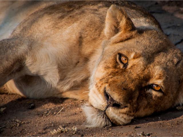 Soudan : affamé et malade, l'un des lions du zoo de Khartoum est mort