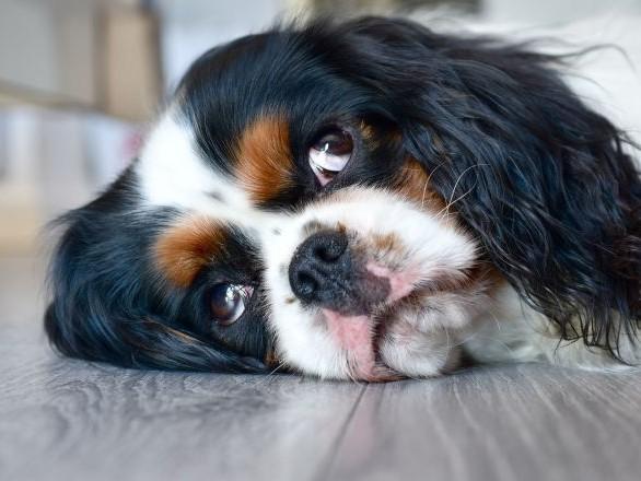 Un chien ramené à la vie après une mort clinique de 10 minutes