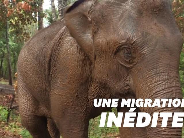 En Thaïlande, le coronavirus force ces éléphants à une grande migration