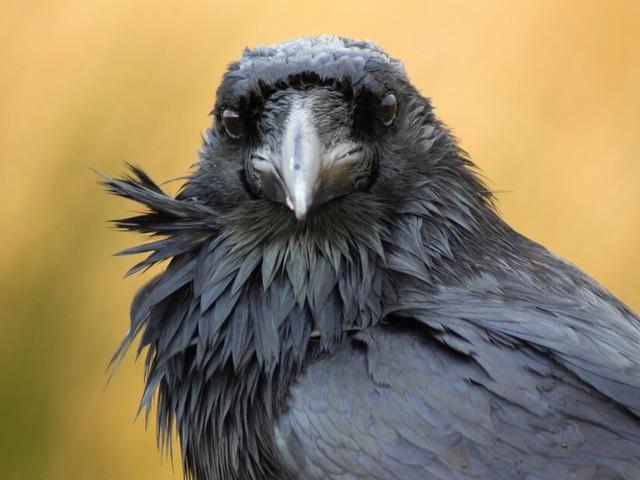 13 faits qui démontrent l'extrême intelligence des corbeaux