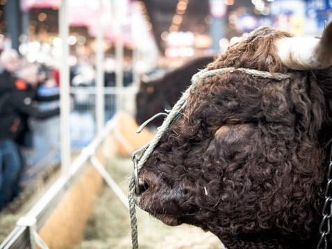 Salon de l'Agriculture2019: une vache bleue en vedette, le programme