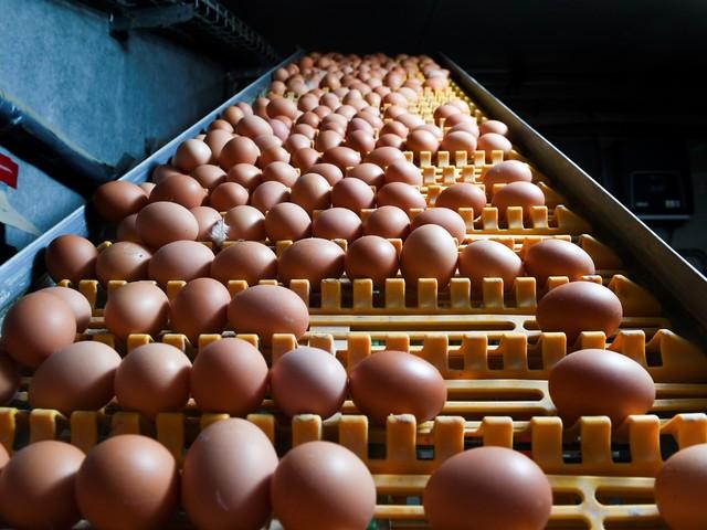 """Œufs : les poules """"élevées en plein air"""" n'ont pas toujours le bec dehors"""