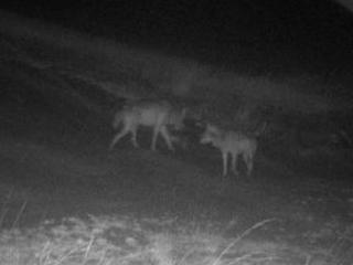 Un troisième loup erre dans le parc de la Haute Campine, selon Welkom Wolf