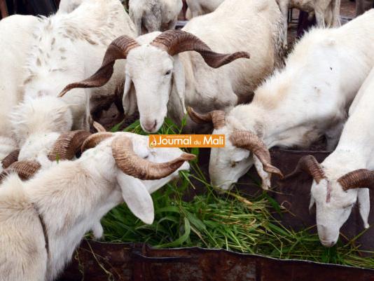 Tabaski: Le culte du mouton