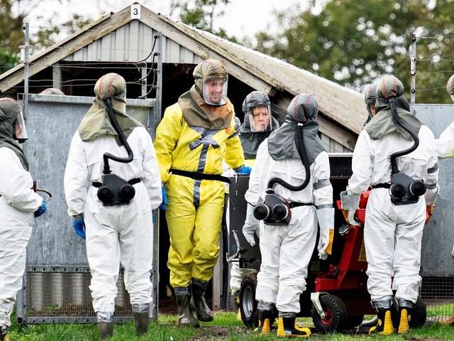 Coronavirus mutant des visons: pourquoi la panique danoise doit être relativisée