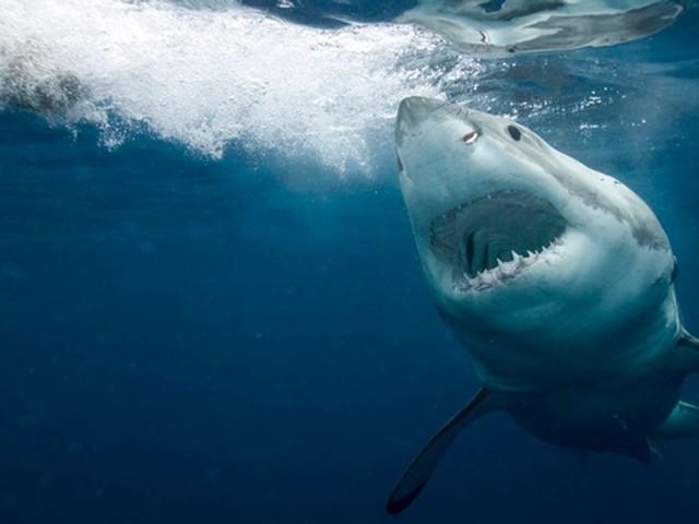 Les requins possèdent un GPS naturel, ils s'orientent grâce au champ magnétique de la Terre