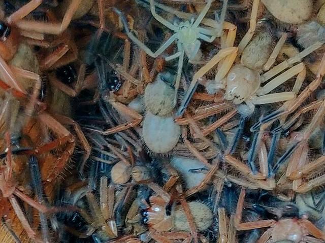 Cette photo d'araignées Huntsman devrait vous réjouir