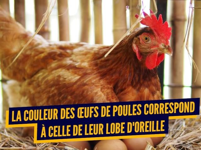 Top 10 des trucs qu'on savait pas sur les poulets, les poules ne font pas que pondre