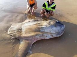Un poisson-lune géant échoué au sud de l'Australie fait le tour de la Toile