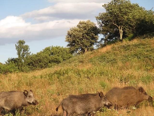 Aude : la prolifération des sangliers inquiète les habitants du Limouxin