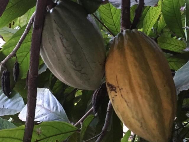 Cacao: le travail des enfants en hausse pendant le confinement en Côte d'Ivoire