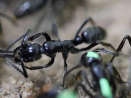 Des fourmis parviennent à soigner leurs congénères blessées au combat