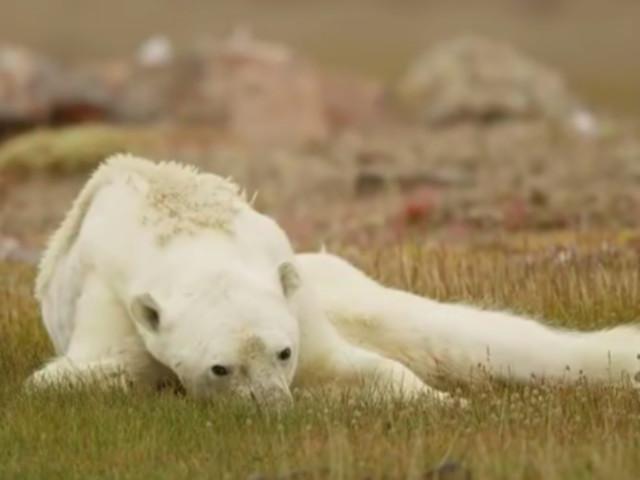 Un ours polaire agonisant à cause du réchauffement climatique bouleverse le monde entier
