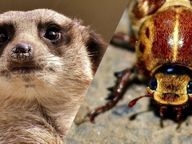 Pour la Saint-Valentin, ce zoo donne le nom de votre ex à un cafard… qui sera dévoré par un suricate