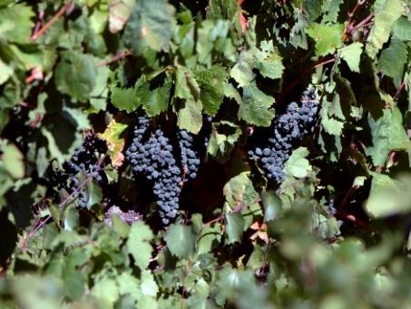 La vigne et le vin en France: Cinq choses à savoir